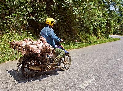 Mopedfahrer transportiert tote Schweine - p390m1477121 von Frank Herfort
