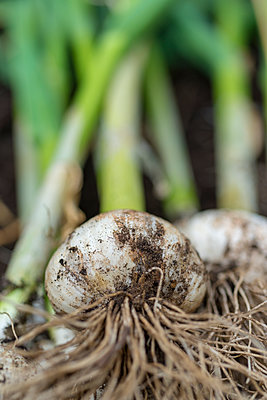 Close-up of freshly harvested garlic bulbs - p1433m1582936 by Wolf Kettler