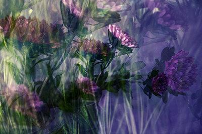 Chrysanthemum, multiple exposure - p1640m2245955 by Holly & John