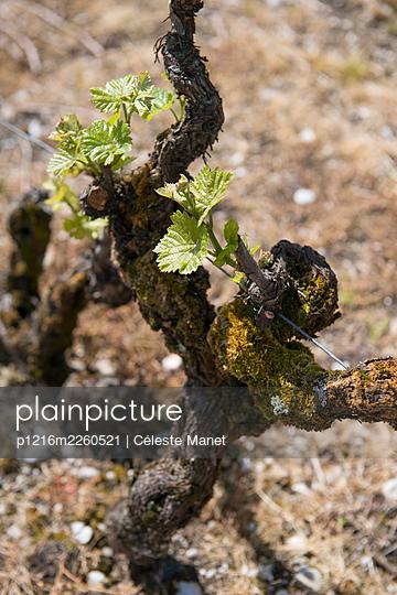 Vine and grapes - p1216m2260521 von Céleste Manet