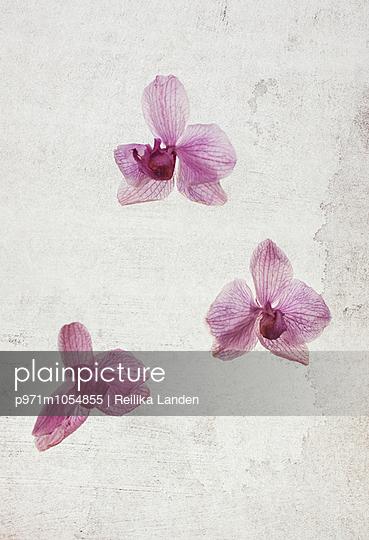 Three orchid flowers - p971m1054855 by Reilika Landen