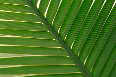 Palm leaves, close up - p3004552f by Claudia Rehm