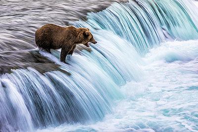 Brown bear (Ursus arctos alascensis), Brooks Lake, Katmai National Park and Preserve,  alaska peninsula, Alaska, USA - p651m2032567 by Marco Gaiotti