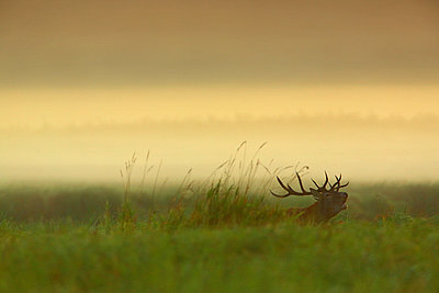 Stag In Field At Dawn - p1026m809130f by Romulic-Stojcic