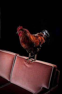 Cock - p1186m1020578 by Christine Henke