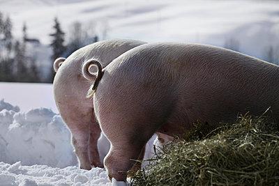 Pigs - p1134m949228 by Pia Grimbühler