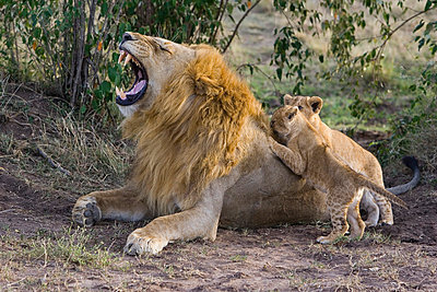 African Lion seven to eight week old cubs playing with adult male - p884m864657 by Suzi Eszterhas