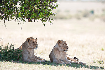 Two young male lions - p533m1451909 by Böhm Monika
