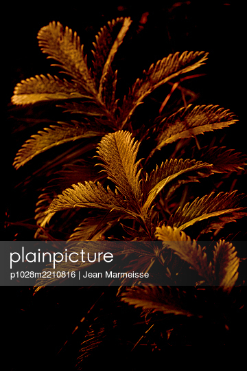 Silverweed leaves (Argentina anserina), Iceland - p1028m2210816 by Jean Marmeisse