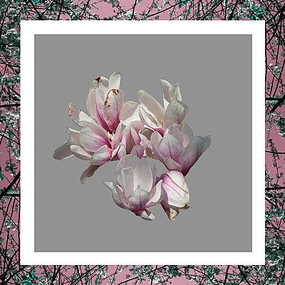 Magnolia blossoms - p1240m2063348 by Adeline Spengler