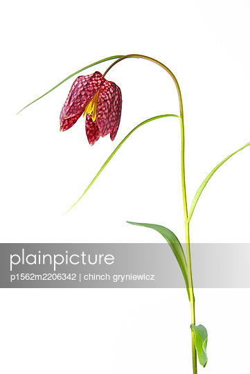 Snakeshead Fritillary Flower - p1562m2206342 by chinch gryniewicz