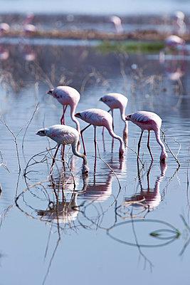 Flamingoes at Lake Nakuru - p533m1003304 by Böhm Monika