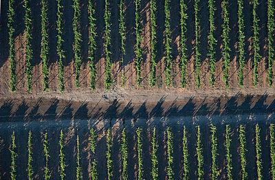 Rows of Grape Vines - p6945516 by Sandra Johanson