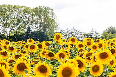 Sunflower field - p756m1057162 by Bénédicte Lassalle