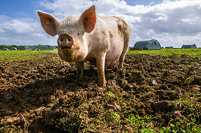 Pig - p1057m1028463 by Stephen Shepherd