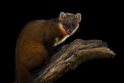Pine marten, Martes martes, at night - p300m2144431 by Mark Johnson