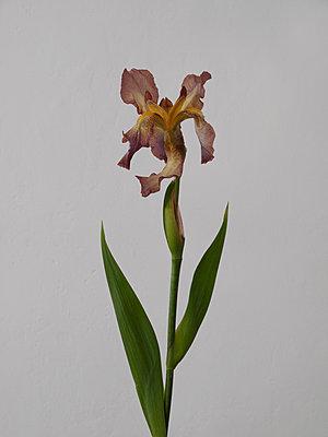 Monströse Blume - p444m1041356 von Müggenburg