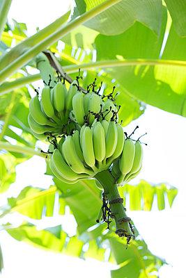 Wo die Bananen wachsen - p1308m1539543 von felice douglas