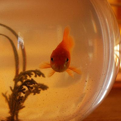 Goldfisch im Glas - p9111145 von Kalanch-Oé
