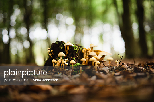Fungi on stump - p312m2080129 by Anna Johnsson