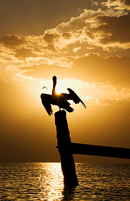 Mexico, Holbox Island, Pelican sitting on wooden post in ocean - p300m980410f by Gerald Nowak