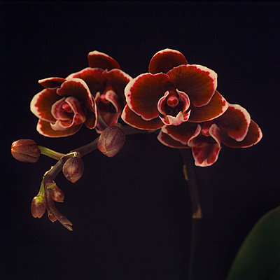 Miniature Maroon Orchid on Black Background - p694m2068364 by Lori Adams