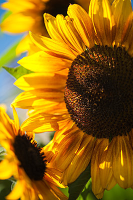 Close-up of sunflowers on a sunny day - p1047m1094354 by Sally Mundy