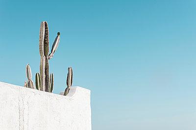 Kaktus hinter weißer Grundstücksmauer vor blauem Himmel - p1162m1516861 von Ralf Wilken