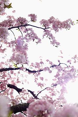 Kirschblüte - p4641648 von Elektrons 08