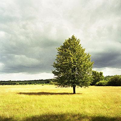 Einzelner Baum in der Heide - p177m1465954 von Kirsten Nijhof