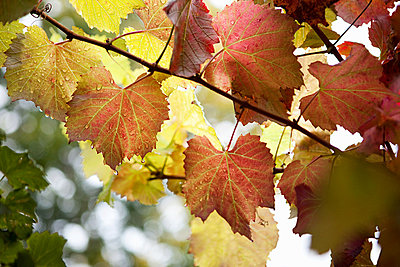 Grapevines, Franschhoek, South Africa - p9243514f by Ryan Benyi Photography