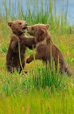 Brown bear cubs - p1100m887872f by Art Wolfe