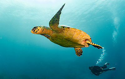 Underwater view of Hawksbill sea turtle and diver, Raja Ampat, Sorong, Nusa Tenggara Barat, Indonesia - p429m2091307 by Henn Photography