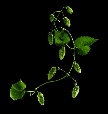 Hopfen-Ranke (Humulus Lupulus) - p897m1073023 von MICK