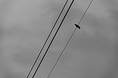Single crow on power line - p1203m1582527 by Bernd Schumacher