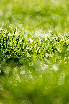 Dewdrops on grass - p739m1128980 by Baertels
