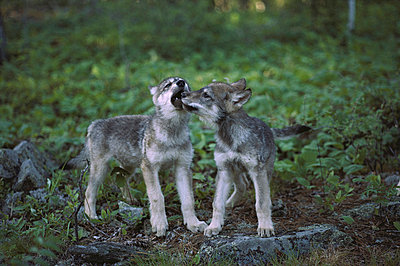 Timber Wolf pups play flighting - p8840105 by Jim Brandenburg