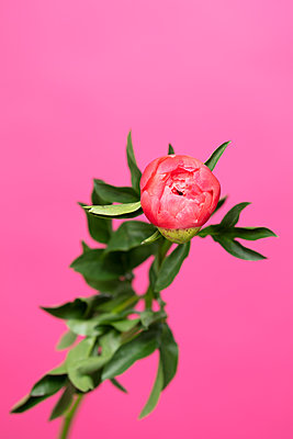 Opening pink peony flower in front of pink background - p919m2193272 by Beowulf Sheehan