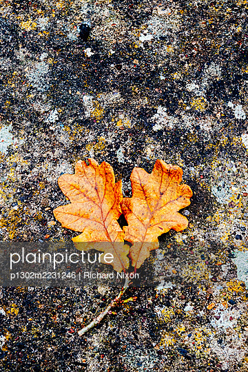 Two Autumn oak leaves on a lichen covered stone - p1302m2231246 by Richard Nixon