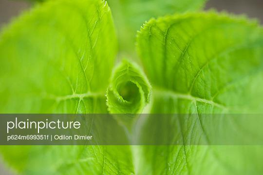 Hydrangea leaves, close-up