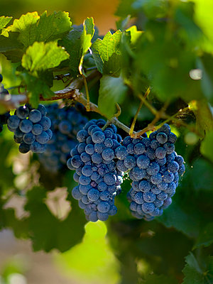Agriculture, Mature clusters of red wine grapes on the vine, San Joaquin County, California, USA. - p442m936588f by Bill & Brigitte Clough