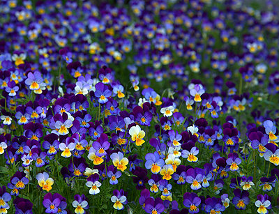 Viola in allotment garden, Sweden. - p5754221f by Hans Geijer