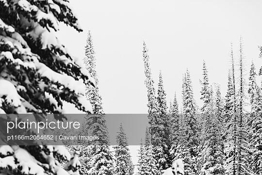 black and white of snowy tall skinny pine trees in the winter forest - p1166m2084652 by Cavan Images