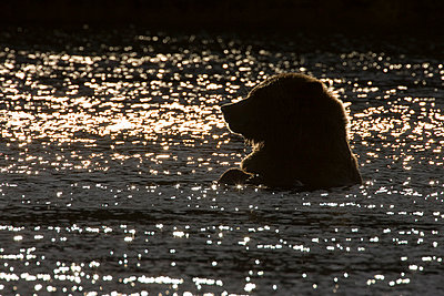 Grizzly Bear in water - p884m864126 by Matthias Breiter