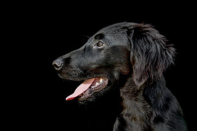 A black dog portrait on black background - p1057m2020703 by Stephen Shepherd