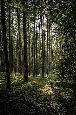 Sunbeams lighten up forest floor - p1402m1487144 by Jerome Paressant