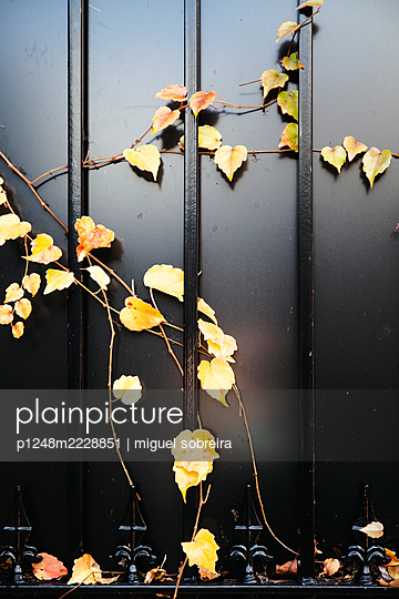 Yellow vine leaves on iron railings - p1248m2228851 by miguel sobreira