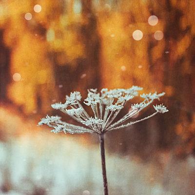 Dried frozen ground elder - p300m2083297 von Dirk Wüstenhagen