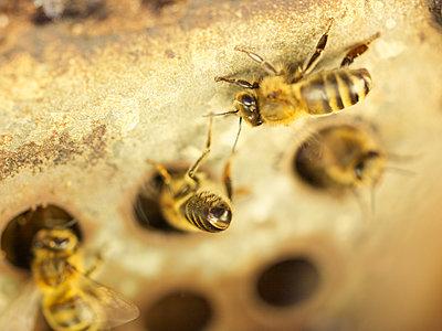 Bienen - p885m1215533 von Oliver Brenneisen