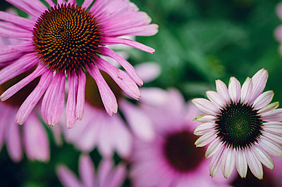 Purple coneflower - p1088m937926 by Martin Benner